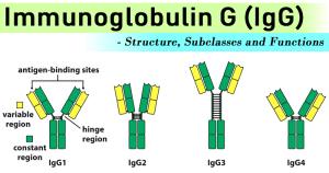 cấu trúc kháng thể IgG