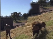 Man Gets Eaten Alive by Lions