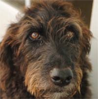 MT PLEASANT FAVORITE PET: Muffin the Labradoodle