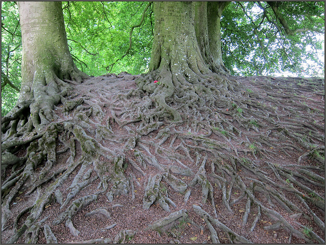 shallow-roots-2
