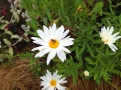 Arleta-triangle-daisies