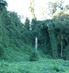 some find it incredible others call it a disaster but either way kudzu a creeping crawling climbing perennial vine is terrorizing native plants all  [ 2016 x 1242 Pixel ]