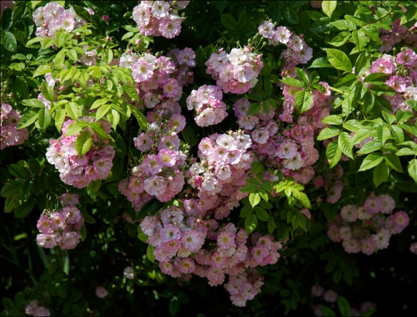 Josephine's roses; pic: Cynthia Rose