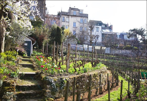 The medieval vineyard beside the museum; pic: Steve Sampson