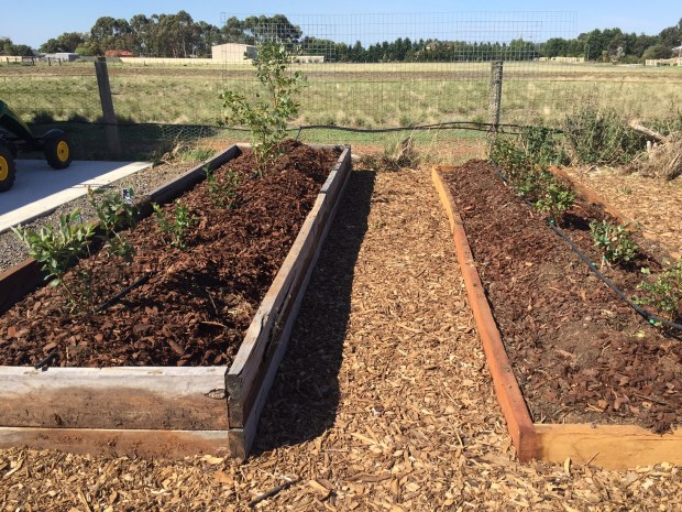 Blueberries new beds