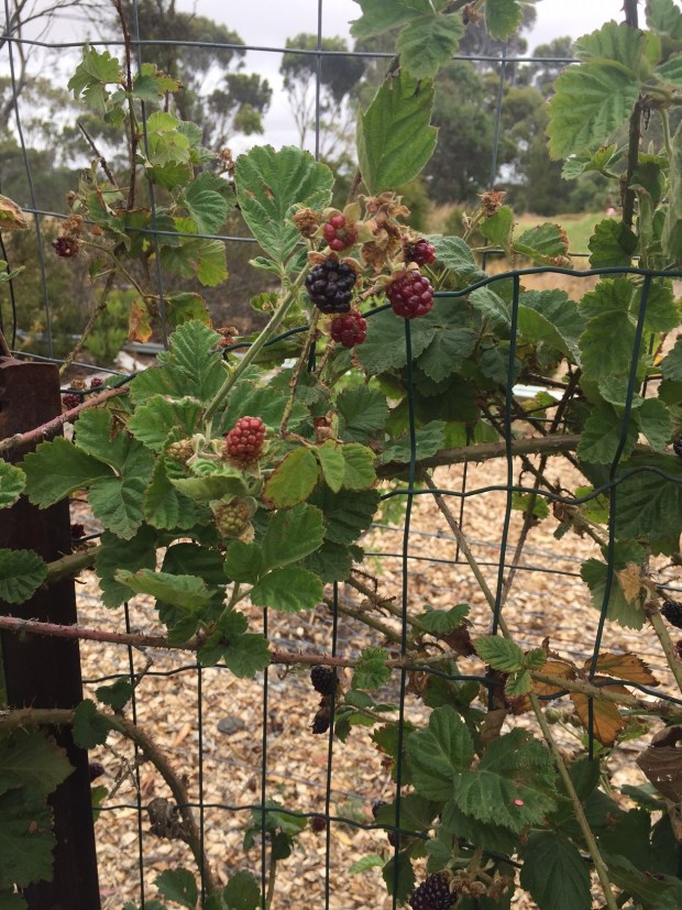 Blackberries fruiting