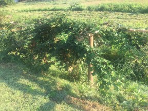 Frannys berries