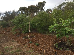 The hill with apple and two pears, mulched