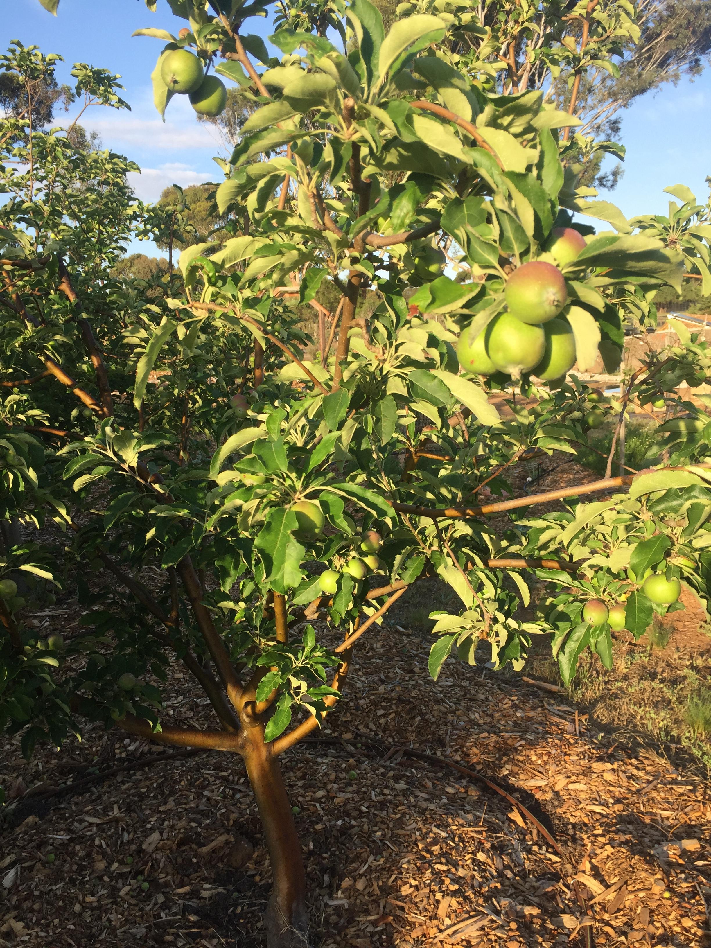 ESummer apples