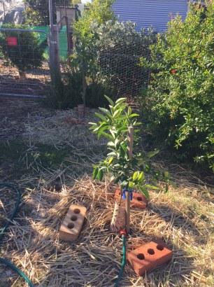 Day - citrus establishing