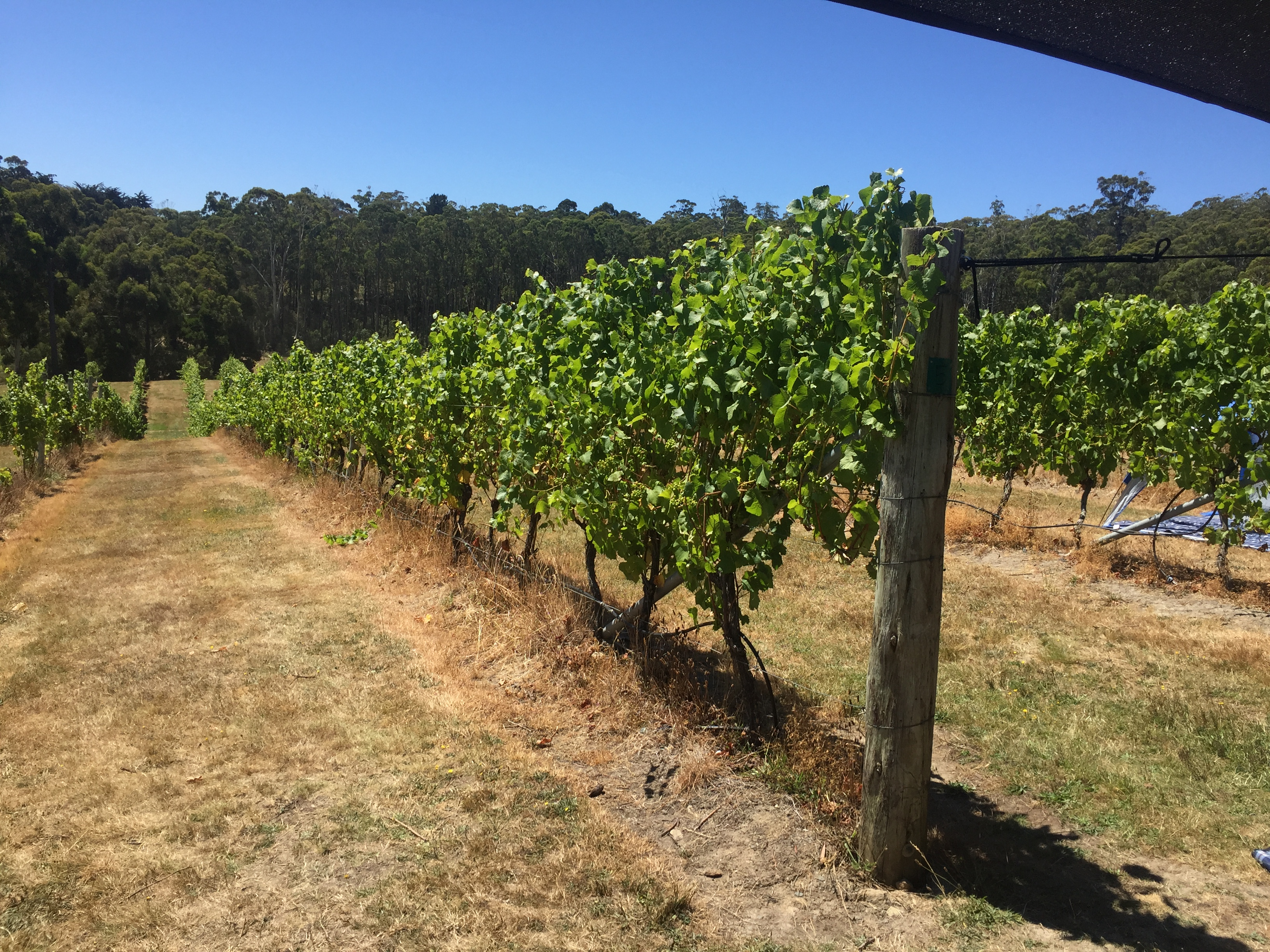 PDC2 vines on bruny island