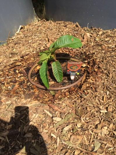 Bush - native tamarind