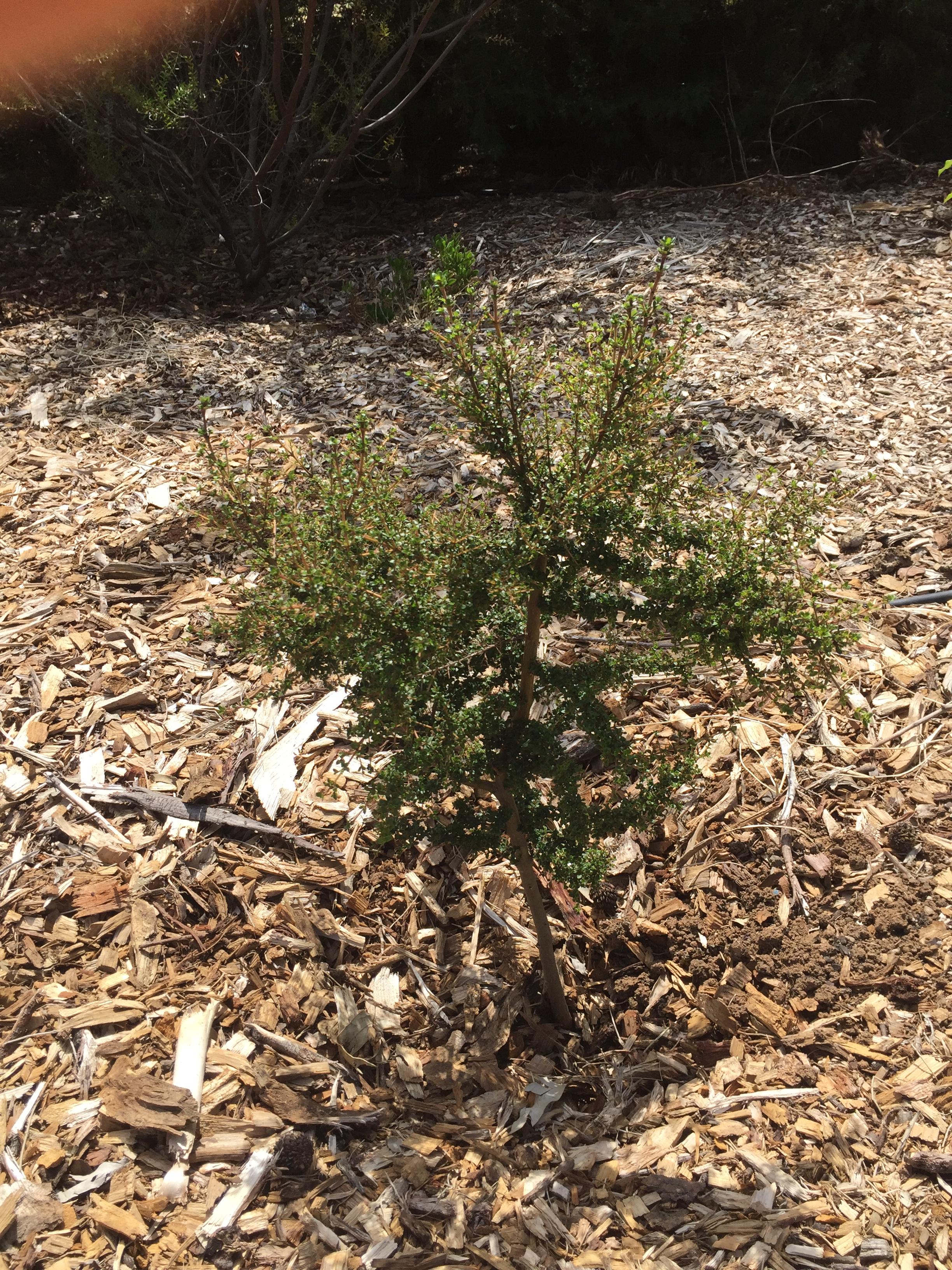 Bush – prickly current bush