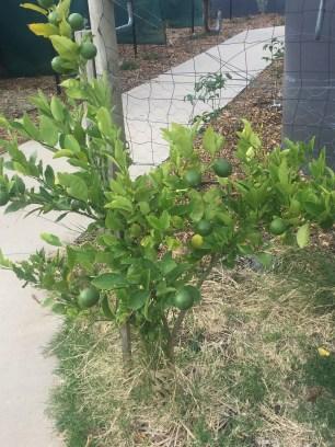 fall - lemon