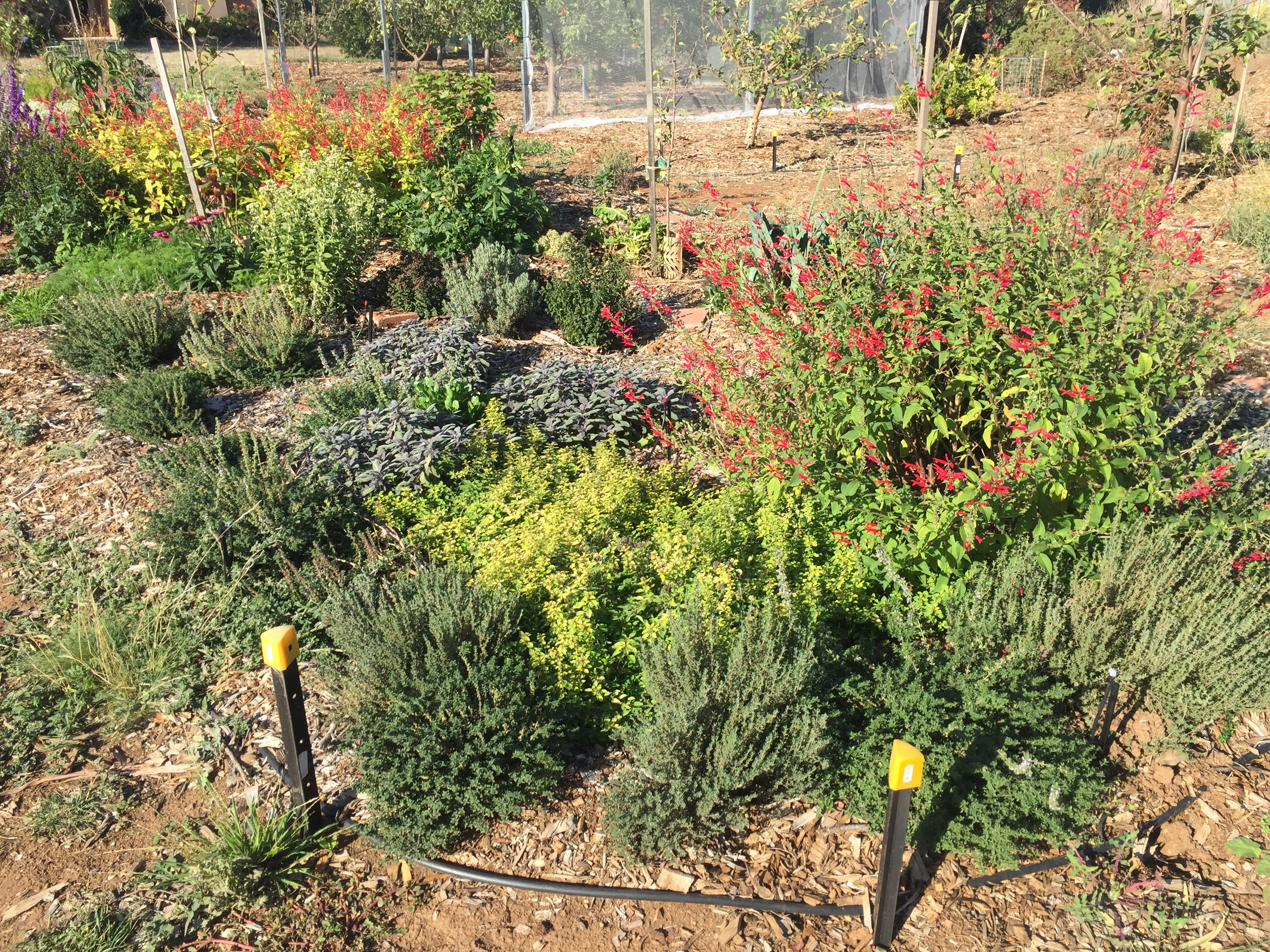 fall – sage bed