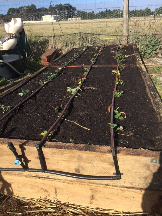 SBGH - strawberries planted
