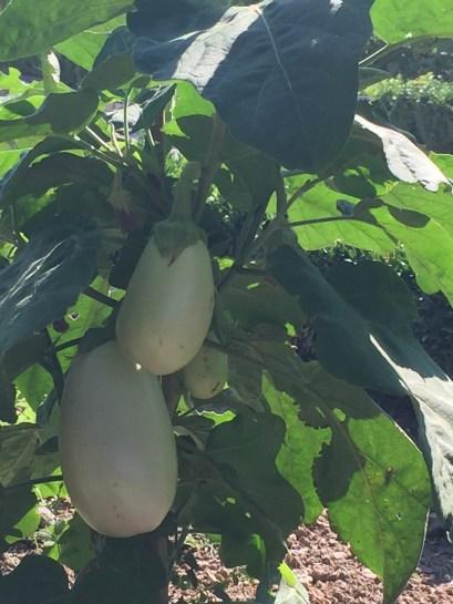 LM white aubergine