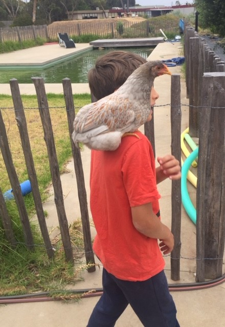 Chooks2 – Markus and Sock parrot