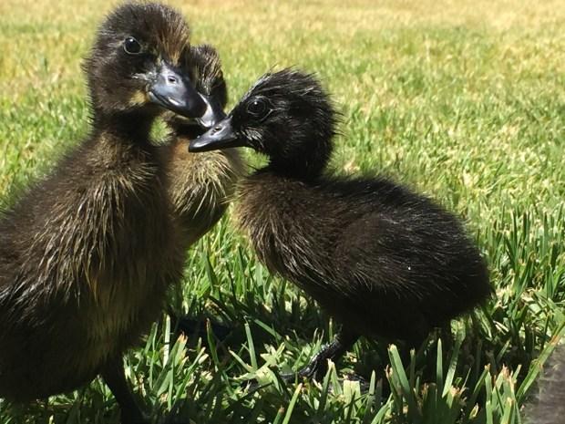 Ducks - group