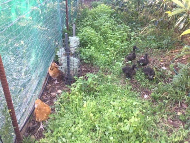 Fowl - buffs and ducks