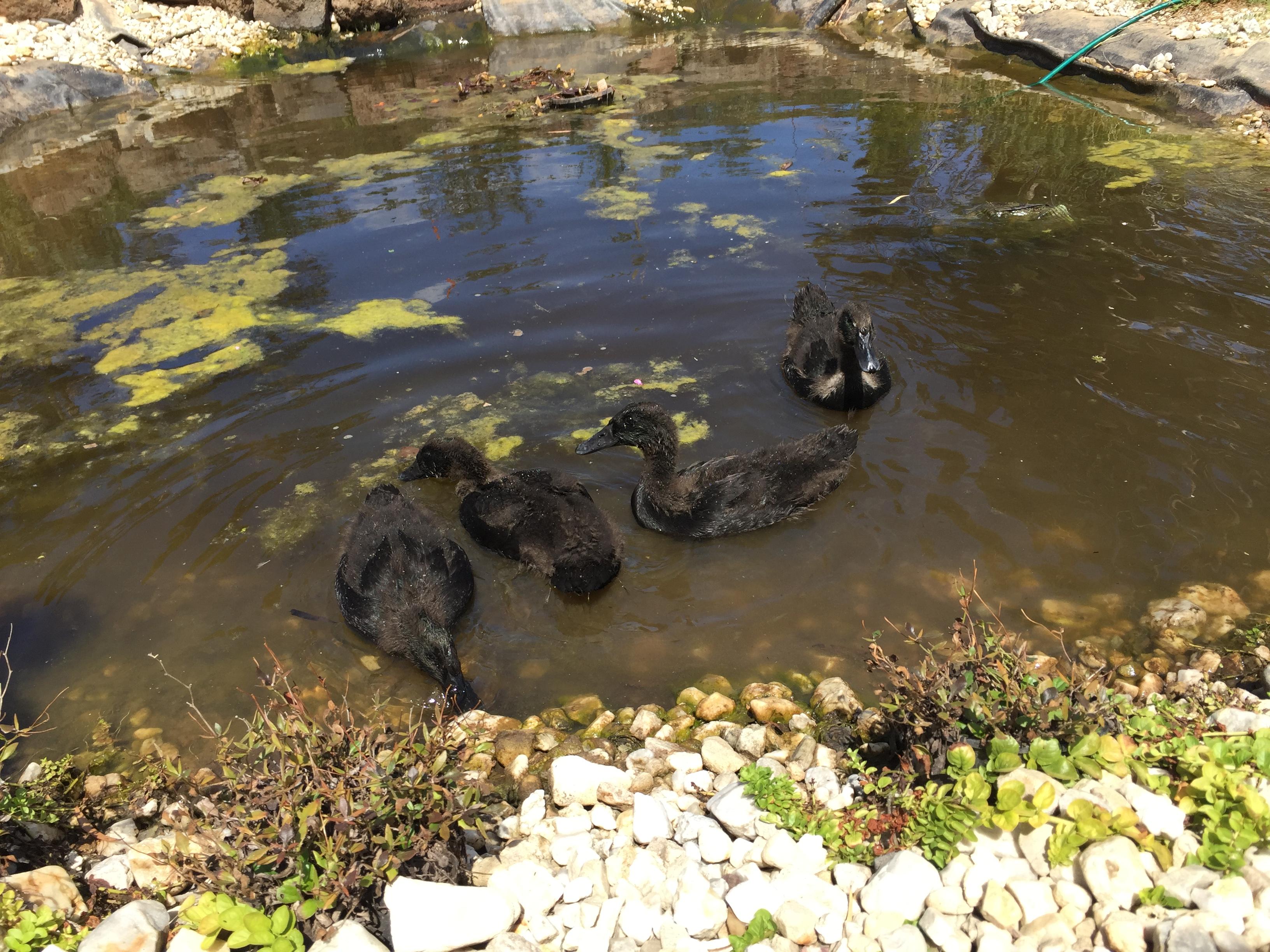 Free – Duck swim 2