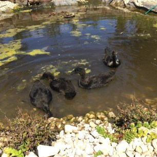 Free - Duck swim 2