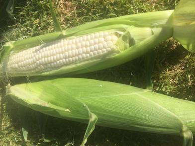 Corn - cob