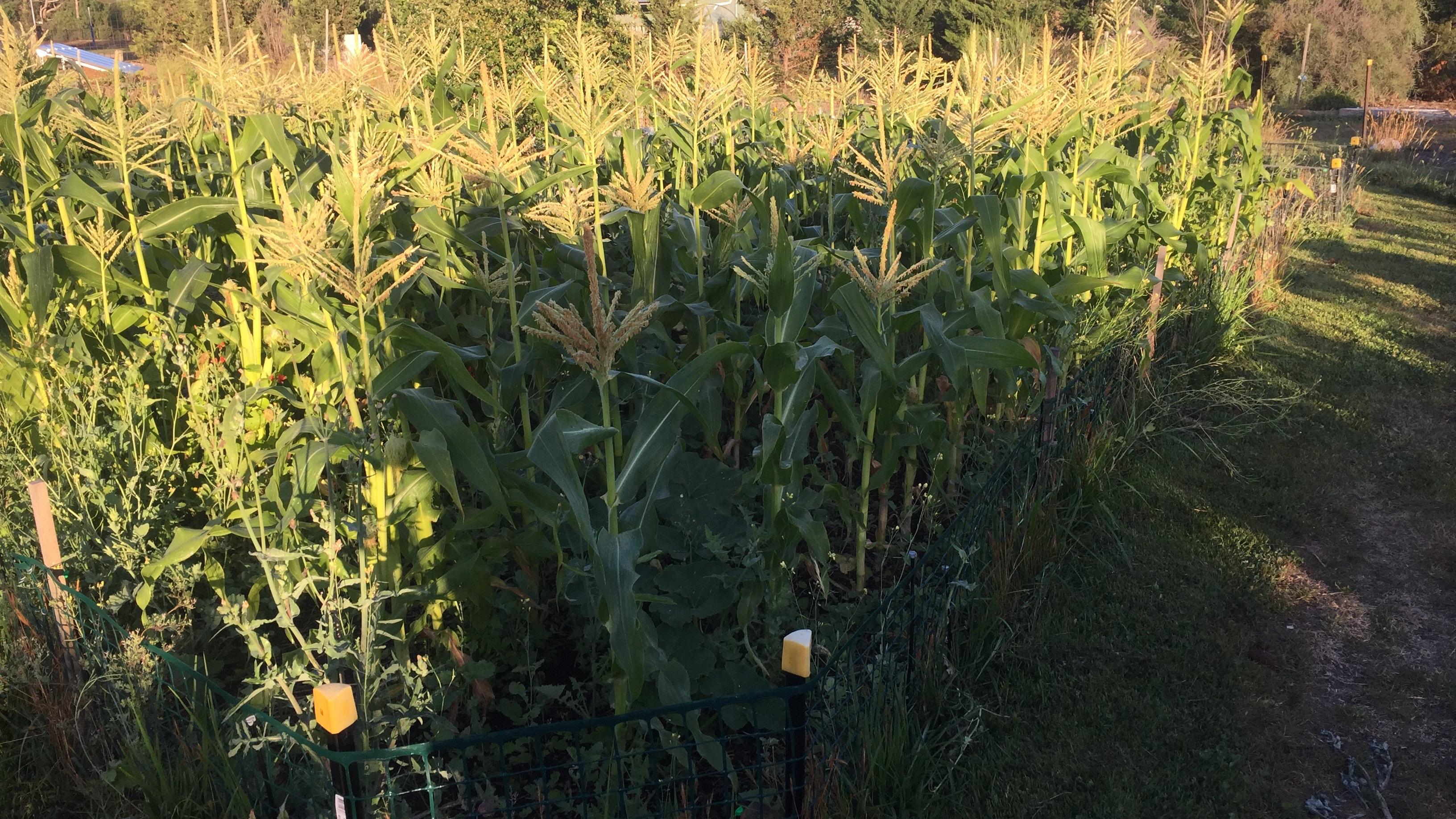 Corn – field
