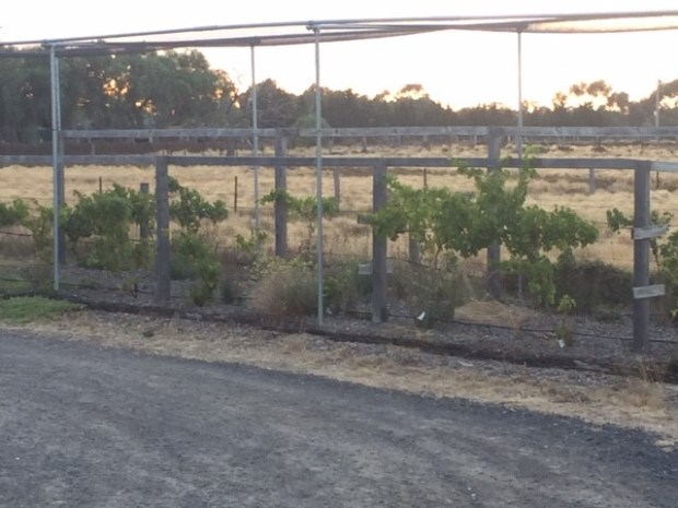 Grapes - transplanted vineyard