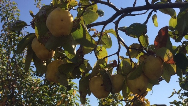 Quince – feature