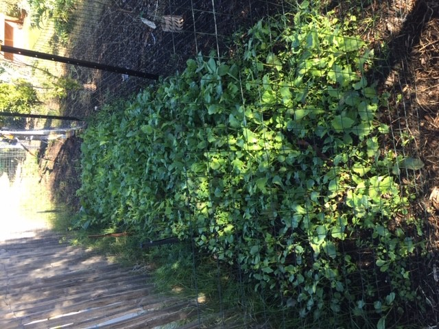 Greens – front bed growing