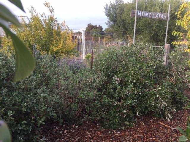 feijoa – bushes