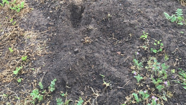 Rabbit - digging