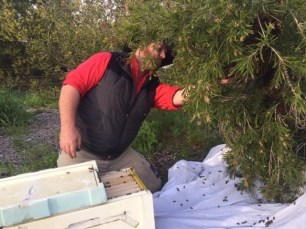 Bee - Sam saving swarm 2