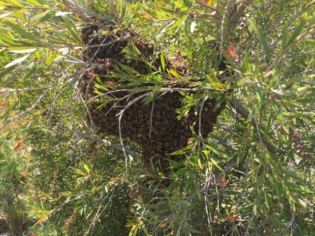 Bees - swarm
