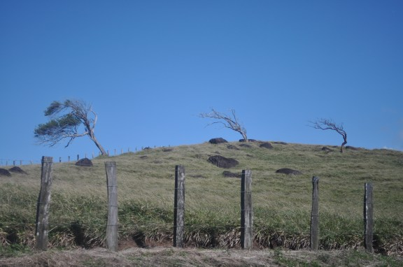 The trees near the wind farm are permanently bent form the strong trade winds blowing from the east. (Jackie Trahan/Missouri School of Journalism)