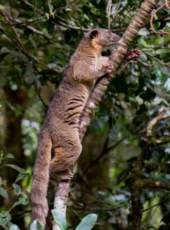 A olingo climbs a tree near the Hummingbird Gallery next to the Monteverde Cloud Forest Reserve as he prepares to steal the sweet sugar water from the hummingbird feeders Sunday, January 4, 2015. Olingos are nocturnal animals with a diet that mainly consists of fruit.