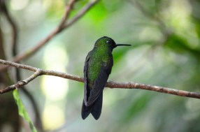 While there are 25 species of hummingbirds throughout Monteverde, only seven species live on the reserve. Photo by McGuire McManus