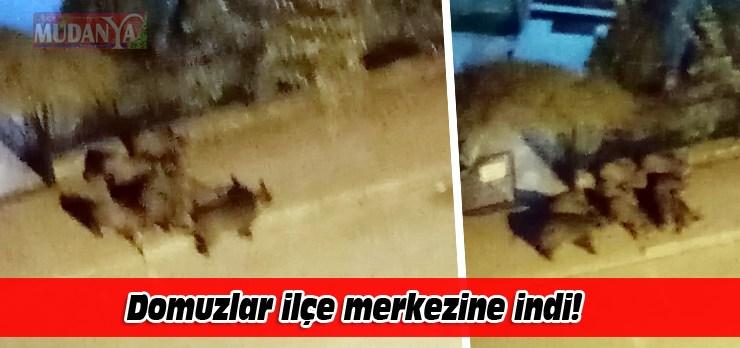 Aç domuzlar Mudanya merkezine indi!