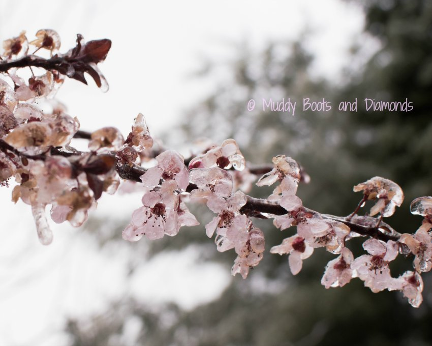 Icy Ornamental Plum Blossom | Winter Storm Stella via muddybootsanddiamonds.com