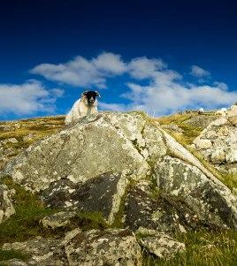 Curious sheep at Grosebay