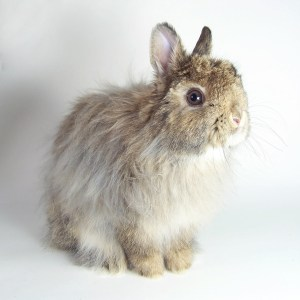 Dink, our Jersey Wooly Rabbit | MudHollow.com