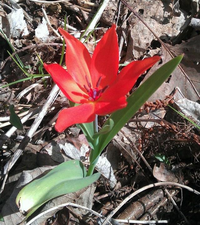 tulip-105652_1280