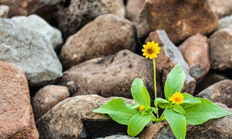 flower growing in stones