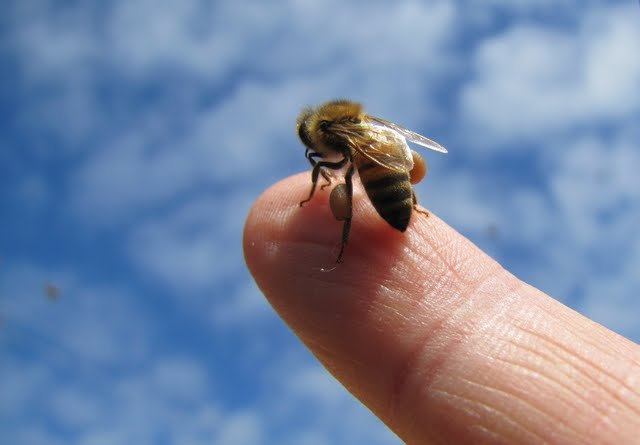 Honey bee on Phillip's finger (May 10, 2011.)