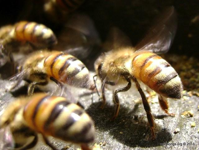 Honey bees fanning. (May 26, 2013.)