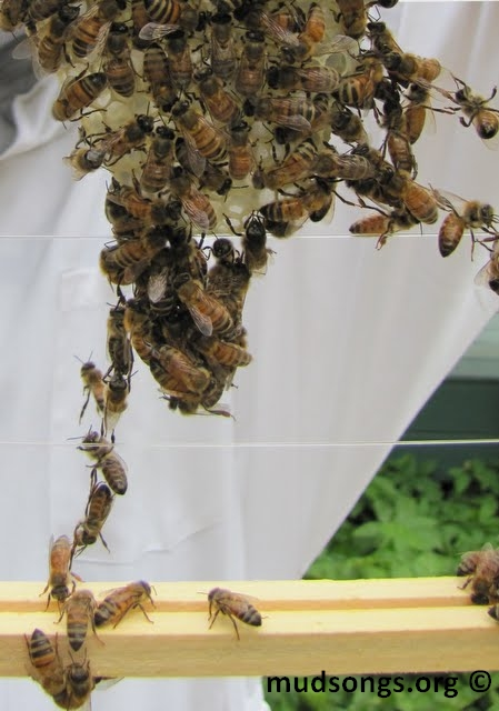 Honeybee festooning. (August 21, 2010.)