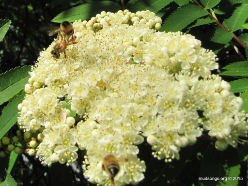 Honey bee on Dogberry blossoms in Flatrock, NL (June 27, 2015).