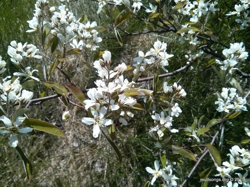 Chuckley Pear blossoms in Flatrock, Newfoundland (June 11, 2015).