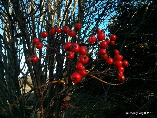 Out of focus cell phone photo of ripe red Dogberries in Flatrock, Newfoundland (November 22, 2015.)